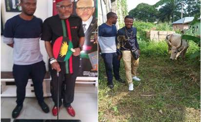 IPOB members allegedly donate cow allegedly named 'Buhari'to Nnamdi Kanu