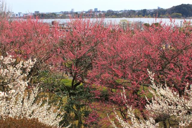 羽根木公園梅まつり
