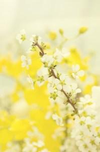 春風に揺れる雪柳