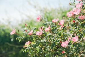 空に向かって咲くバラ