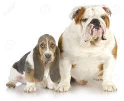 chiens hypertypés