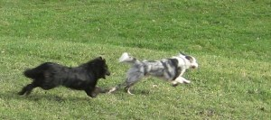 chiens courir éducation