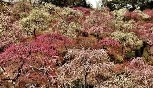 龍尾神社で梅の花見ができる。掛川城よりも見ごたえがある花見スポット