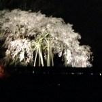 岡崎市奥山田にある一本桜!樹齢1300年のしだれ桜が満開!