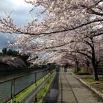 名古屋荒子川公園の桜も満開、ウォーキングイベントに、参加してみよう!