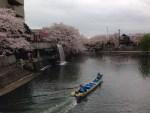岐阜県大垣市 川沿いの桜