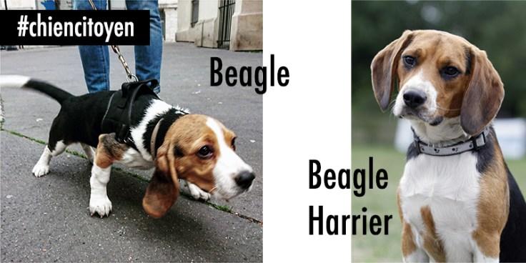 Le Beagle et Beagle-Harrier
