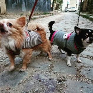 ChihuahuaParis14