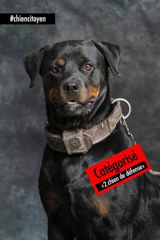 """Le Rottweiler, catégorisé """"chien de défense"""" par la loi Française"""
