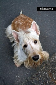 Scottish Terrier1Red