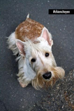 Scottish Terrier1Red