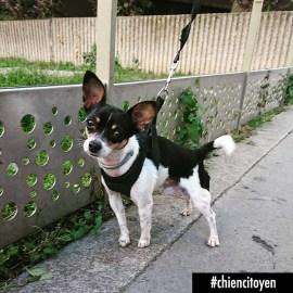 Titou Chihuahua Paris13