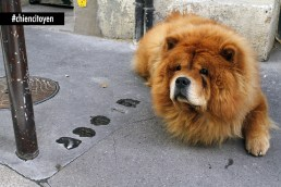 chow chow RED