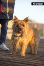 CairnTerrierParis13