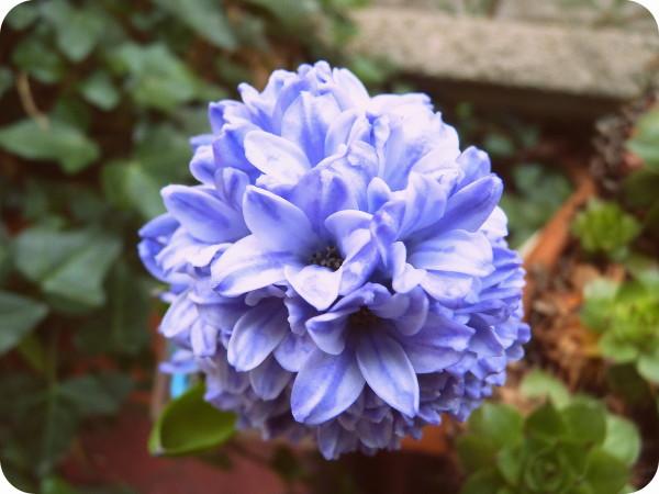 jacinthe-bleue.JPG