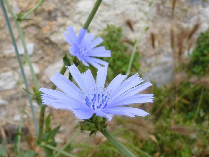 fleurs-bleues