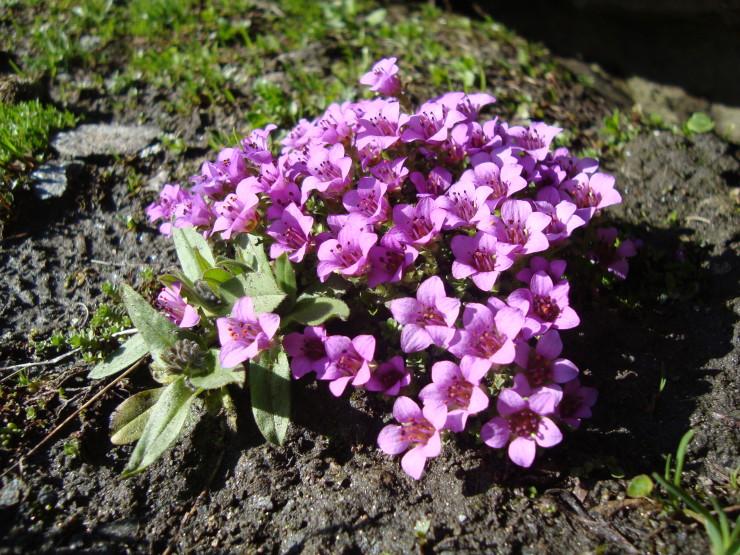 fleurs-montagne