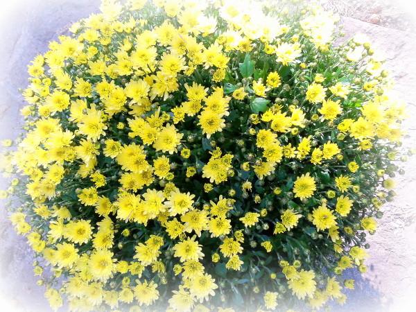 chrysanthemes.jpg