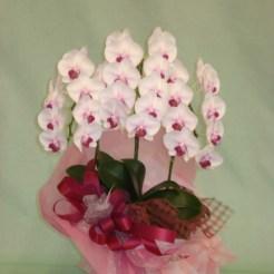 商品番号【CH15110002】¥12960 胡蝶蘭のミディタイプで淡いピンクのお花がとても可愛いらしいです。当店自慢のラッピングも必見です(^o^) お誕生日・開店祝いなど様々なシチュエーションにいかが!!