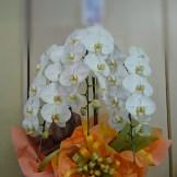 商品番号【CH1520003】¥21600 胡蝶蘭の大輪3Fタイプです。 当店自慢のラッピングも必見です(^o^) お誕生日・開店祝いなど様々なシチュエーションにいかが!!