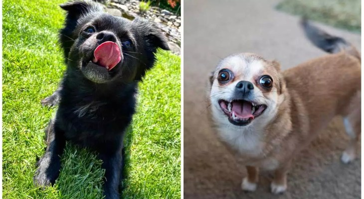 How I Used A Fart to regulate My Chihuahua