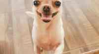 chihuahua smiles