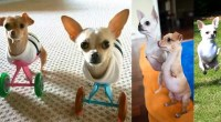 Two-Legged-Chihuahua-Siblings-adopted-by-couple