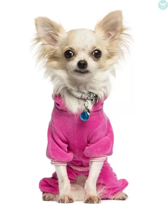 chihuahua dressed pink