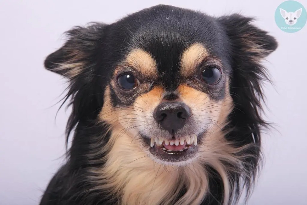 chihuahua rude face