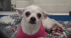 1-Year-Old-Chihuahua-Dumped-At-Shelter,-Cries-Herself-To-Sleep-In-A-Pink-Sweater