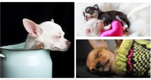 8 Sleeping Positions of Your Chihuahua & What They May Mean