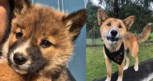 Australian-family-rescued-'puppy'-–-turns-out-to-be-a-rare-purebred-dingo