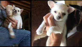 Chihuahua-puppy-meets-a-baby-goat-for-the-first-time