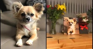 Chihuahua-Hero-Passed-Away-Trying-To-Save-Kid-And-Mother-From-Burning-Van