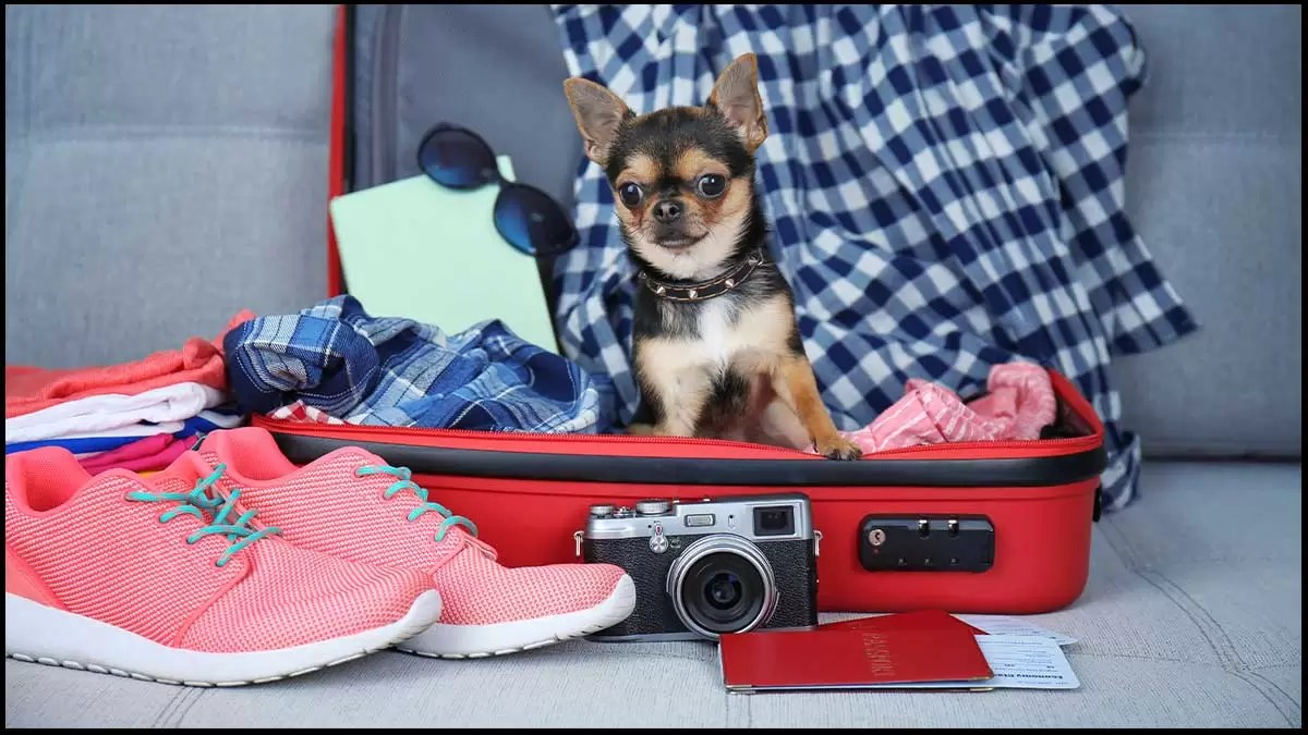 Travel With Your Chihuahua
