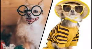 Fit For A Princess! Chihuahua Becomes Instagram Celebrity Amassing Thousands Of Followers