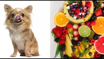 Can Chihuahuas Eat Fruit?