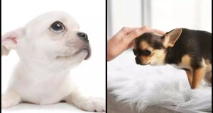 Hydrocephalus In Chihuahua Puppies