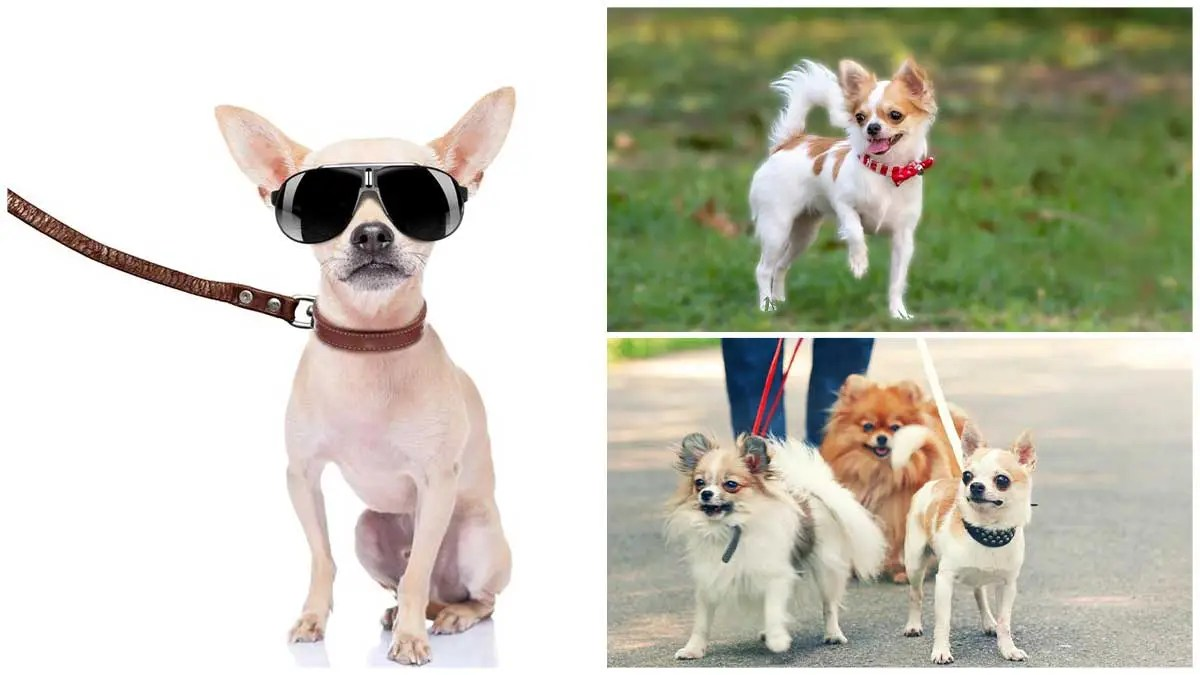Should Your Chihuahua Use a Collar and Leash?