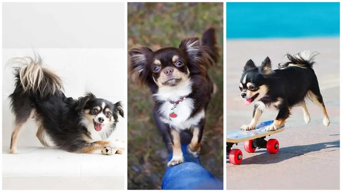 7 Fun and Safe Ways to Spoil Your chihuahua