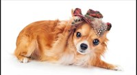 Long Haired Chihuahua Hair Cuts: The Essential Guide to Grooming with Hairstyle Pictures