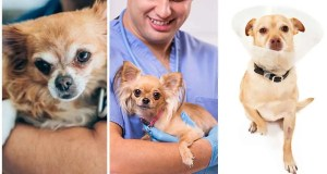Thinking about Your Chihuahua After Medical procedure [Surgery]
