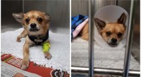 Timmy-the-Salvage-Chihuahua-Ricochets-Back-After-Medical-procedure