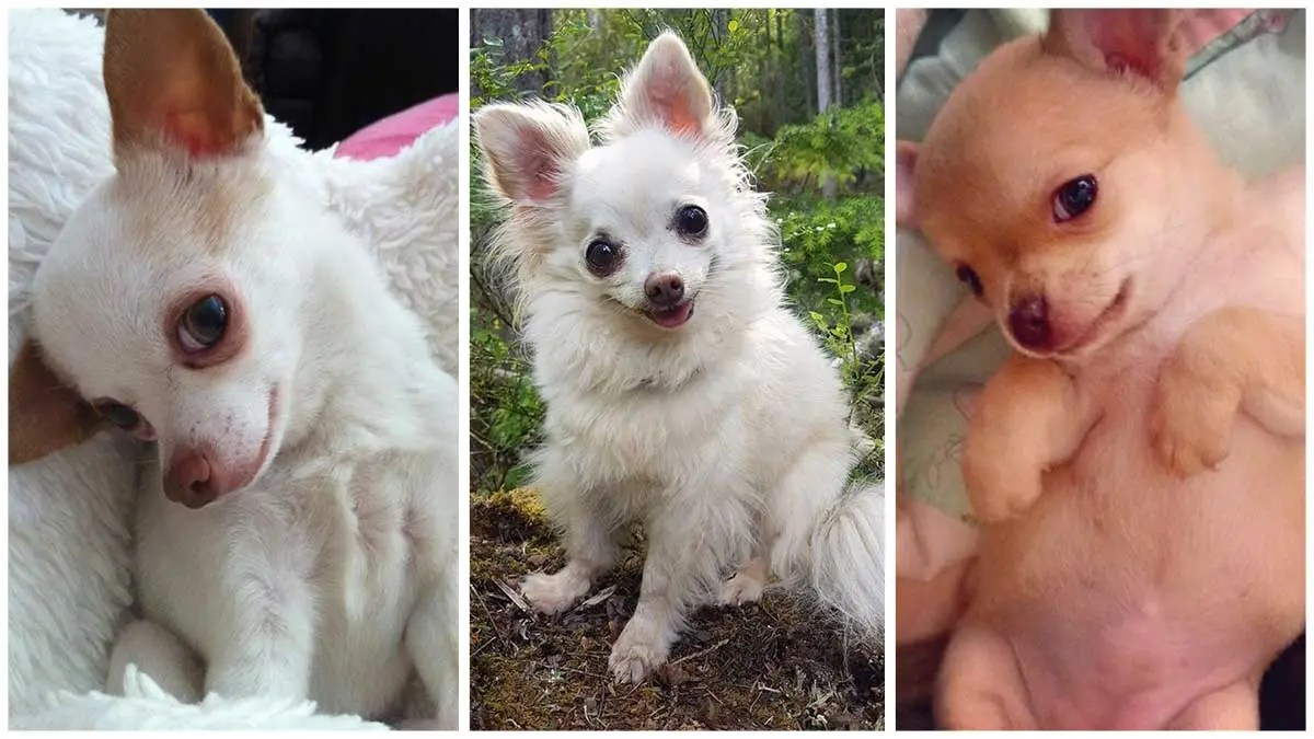 20+ Photos Proving That Chihuahuas Are Small 20+ Photos Proving That Chihuahuas Are Small but Have Big Heartsbut Have Big Hearts