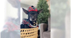 Chihuahua Alyssa will sweeten your life