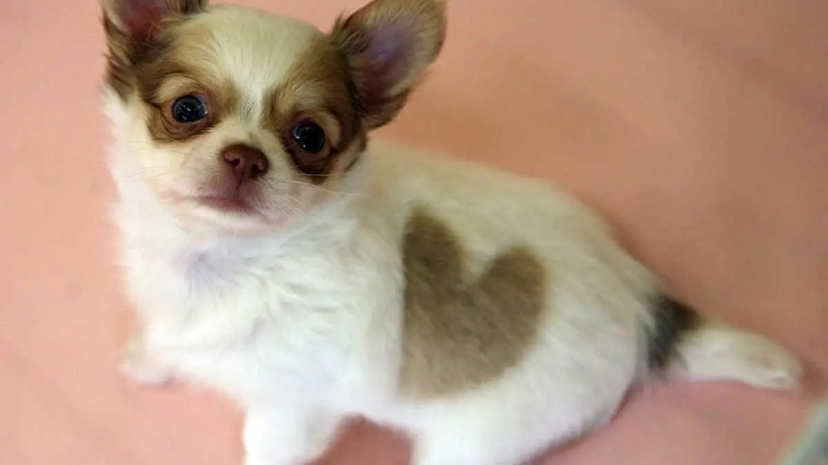 Chihuahua dog missing for 5 years in California is found