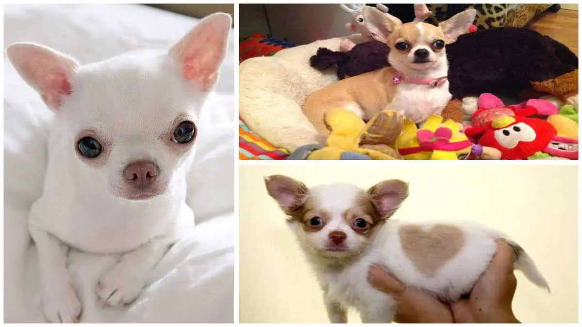 Different Types of Colors & Markings of Chihuahua Dog Breeds