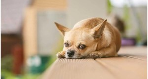 Leaving Your Chihuahua Home Alone