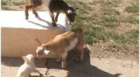 Little Chihuahua Puppy Plays With Two Baby Goats (And I'm In Heaven!)