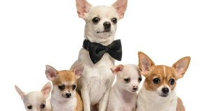 The Cost of Chihuahua Puppies & Adult Dogs (with Calculator)